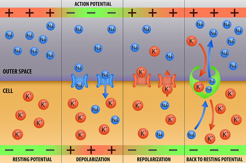 Action Potential & Automaticity